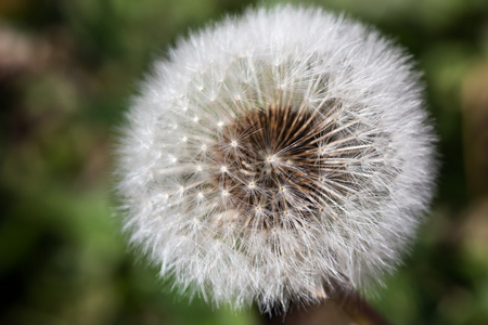 puff: The delicate hairs of a dandelion puff with a soft blurred background. Stock Photo