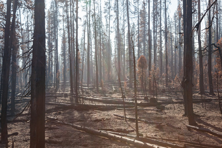 Smoke is back lit by the afternoon sun as it settles around lodge pole pine trees that have been burnt by the National Creek Complex fire in Oregon.
