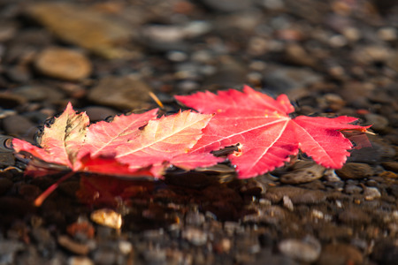 Two red maple leaves in fall floating together in a shallow stream of clear water with small pebbles underneath.