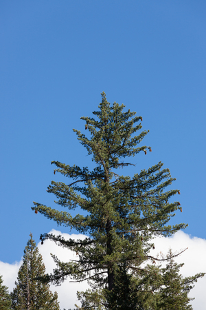 A large Sugar Pine tree with hanging cones stands among fur trees in the Oregon forest with white cloud in a blue sky background.