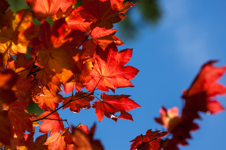 A branch of bright redish orange maple leaves in fall with a blue sky background.