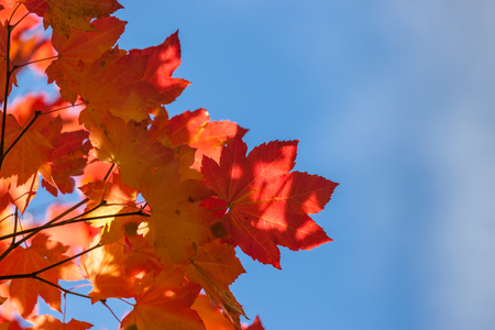 Bright red and orange maple leaves in fall against clear blue sky lit by afternoon sunshine. 스톡 콘텐츠