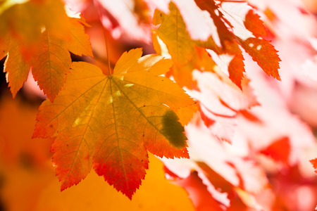 Soft afternoon sunshine lights up red, orange, and yellow maple leaves for a dreamy effect.