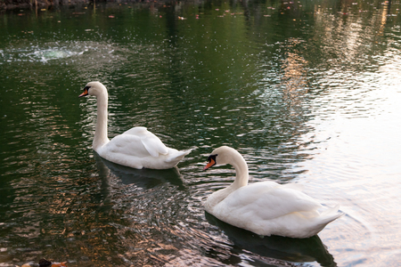 Two white swans swimming and feeding on a calm pond with reflecting light of the sunset.