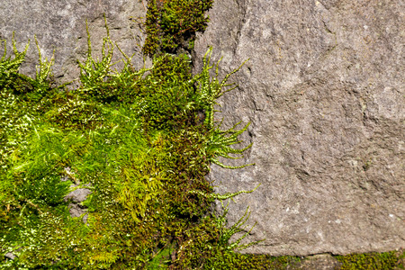 Soft and fuzzy springtime green moss growing on a rock face in the afternoon sunshine. Banco de Imagens