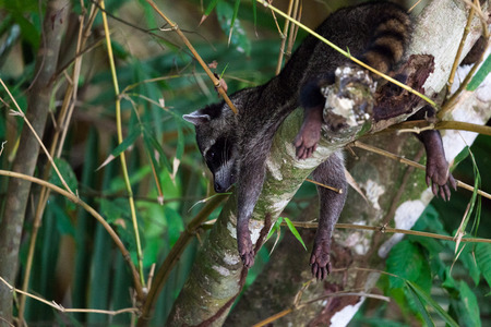 A small raccoon hanging head down in a tree with its paws over the sides of the branch in Manuel Antonio National Park, Costa Rica. Stock Photo