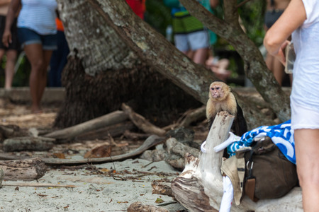 An angry looking white face monkey in Manuel Antonio National Park in Costa Rica begging for food  near the tourists at the beach. Stok Fotoğraf