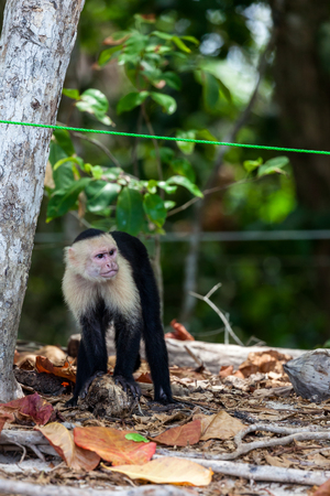 A white faced monkey with his hands resting on an old coconut shell in Manuel Antonio natural park in Costa Rica.