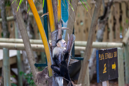 A small white faced monkey sitting on a broken palm tree next to a beach sign in Manuel Antonio natural park in Costa Rica. Imagens - 104789546