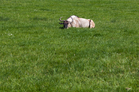 A brindled wildebeest laying in the vibrant green grass enjoying the spring sunshine.