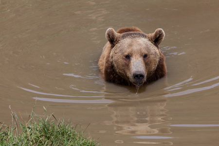 A large female brown bear in a muddy pond with water dripping from her mouth. 免版税图像