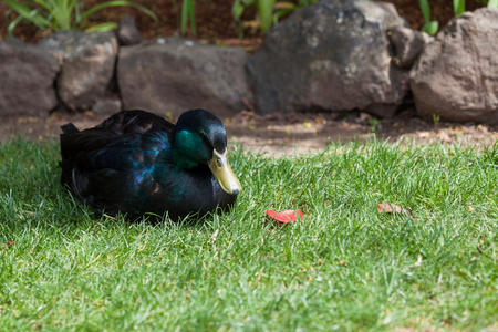 A Cayugo duck with balck feathers that change to purple, blue, and green as the sunshine reflects off them laying in spring grass.