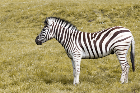 A black and white stripped zebra standing in profile on a grassy hill. Stock Photo