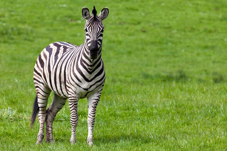 An adult zebra looking straight ahead while standing in green spring grass.