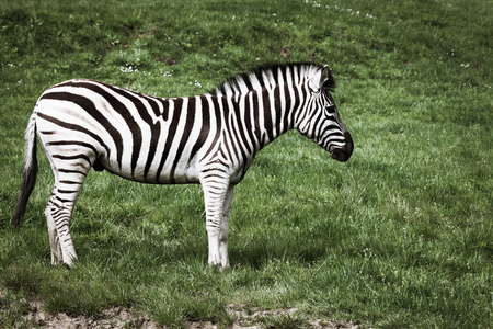 A vibrant black and white zebra stands on a hillside of spring grass. Stock Photo