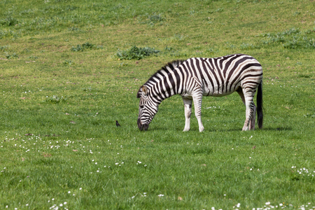 A black and white zebra grazes in a spring field next to a small black bird.