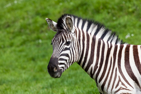 An adult zebra close up profile against a spring green grass background. Stock Photo - 115955938