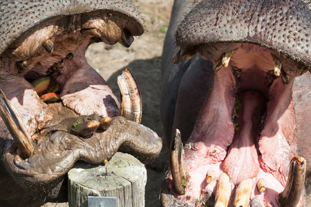 Two large hippopotamus with open mouths waiting for a treat from their trainer. Archivio Fotografico