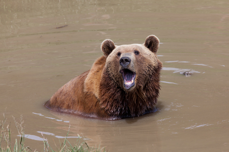A brown bear sitting in a shallow muddy pond on a sunny day with an open mouth and teeth showing.