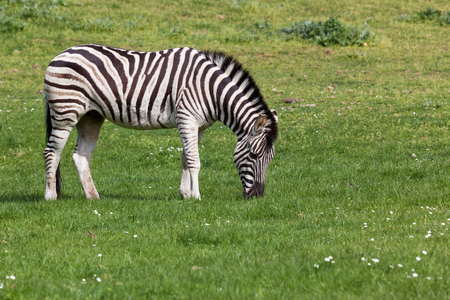 A black and white zebra grazes on spring grass in the sunshine.