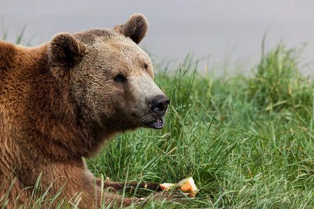 A brown bear laying in the green spring grass eating a piece of cantaloupe. Stock fotó