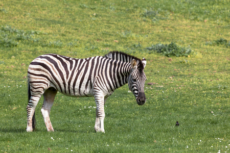A black and white zebra stands in a spring field next to a small black bird.