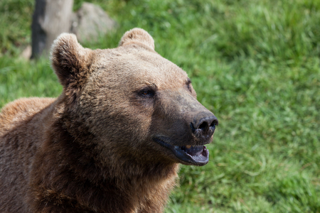 A brown bear with a cute expression on its face sitting in the spring sunshine with a green grass background. 免版税图像