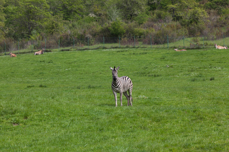 An adult zebra stands in a spring field with spiraled horned antelope in the background.