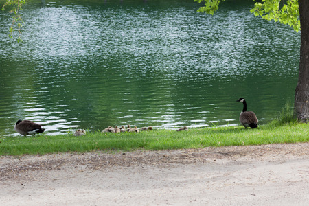 A Canadian Goose family with several fuzzy chicks resting in the green grass next to a pond in spring. Imagens