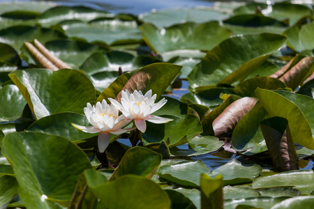 Two white lotus flowers seem to float above the crowded surface of a lily pad covered pond.