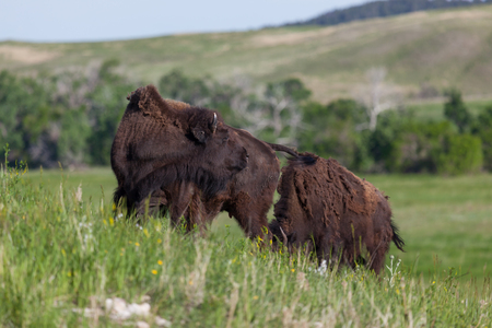 Tow young bison graze on a hillside in green grass and wildflowers in the spring sunshine  at Custer State Park, South Dakota.