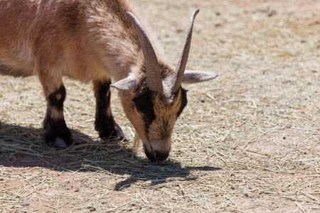 A small brown and black goat with long horns sniffing the ground at a petting zoo.