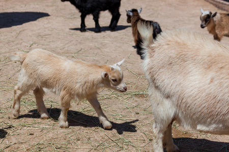 A young beige goat walking behind its mom at a petting zoo with other goats in the background.