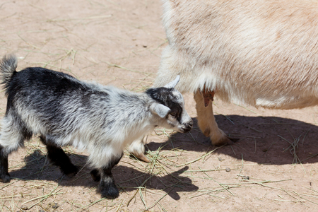 A black and white baby goat standing by its mothers side in the sunshine at a petting zoo.