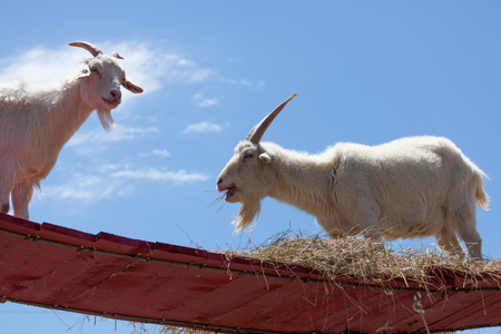 Two white goats up on a red walkway eating hay with a blue sky background.