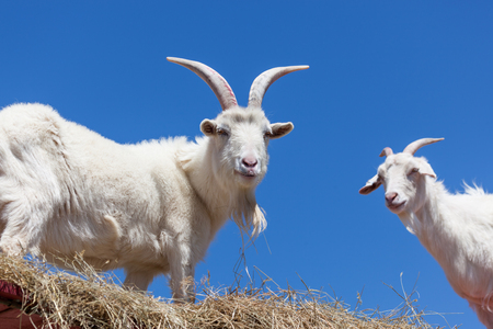 Two white goats standing in the hay on a high walkway with a clear blue sky background. Фото со стока