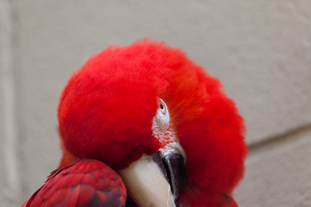 A shy scarlet macaw hides part of its face with its wing and watches its surroundings with its other eye. Stock Photo