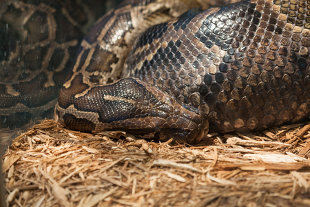 A large reticulated python or boa constrictor in a glass enclosure resting its head on wood shavings .