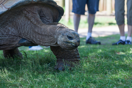 A giant tortoise walking in the grass with tourists standing in the background.