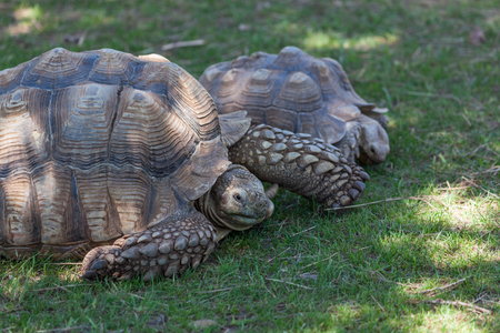 An African spurred tortoise retracting its head back into its shell as it rests on the green spring grass.