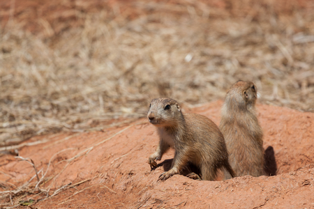 Two cute little prairie dogs exiting their tunnel into the sunshine to see what is going on above ground. Imagens