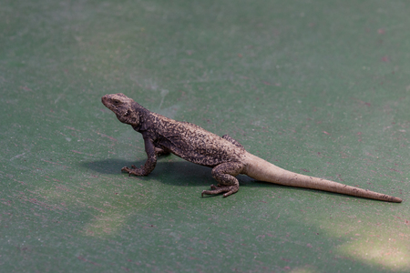 A small lizard with a black upper body that gradually fades into a white tail that is standing on a green concrete floor.