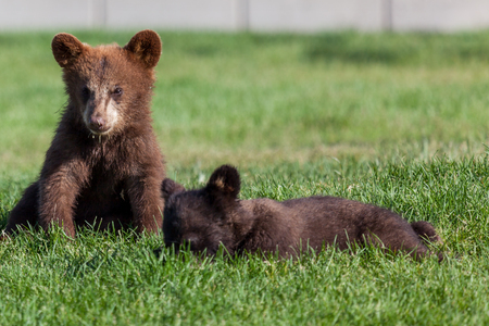 A cute baby brown bear sitting in the sunshine on the green grass with a baby black bear laying next to it.