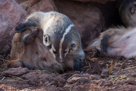 A pudgy badger sitting up and using its back foot to scratch an itch on its neck with its long claws.