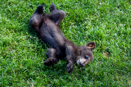 A cute little baby black bear laying on its back in the green grass.