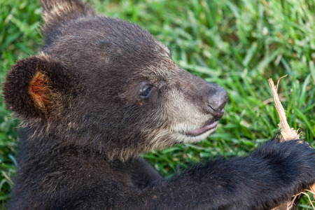 Close up of a cute little baby black bears face and paw as it plays with a stick. Stock fotó