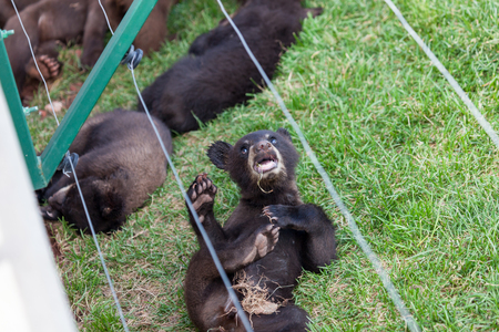 A funny little black bear laying in the grass and playing while other baby bears sleep in the background. 免版税图像