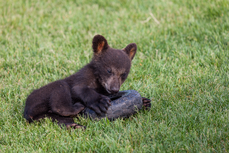 A baby black bear laying in the grass and playing with a tire toy.