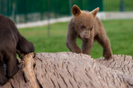 A cute little baby brown bear walking on a log as another baby bear plays with a branch.