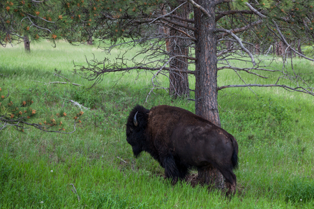 A large male bison using a pine tree to scratch an itch on its side in the woods of Wind Cave National Park, South Dakota. Stock Photo